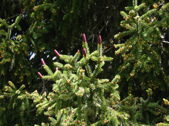 Rottanne Blütenessenz
