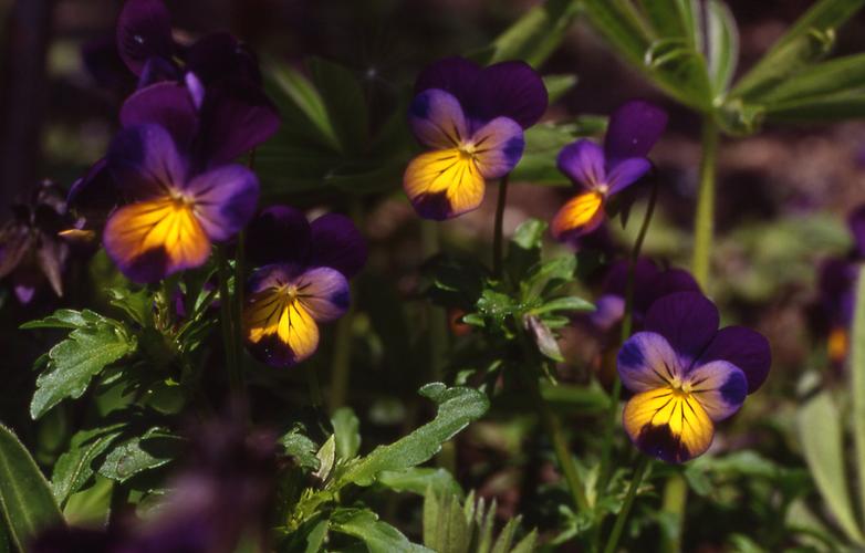 Stiefmütterchen Blütenessenz