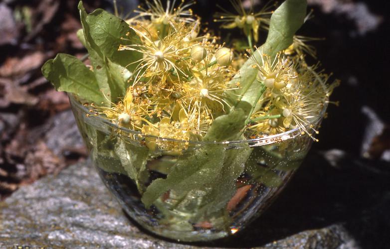 Linde Blütenessenz