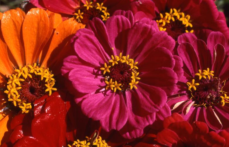 Zinnie Blütenessenz