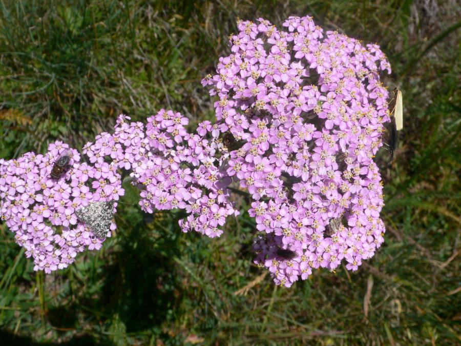 Schafgabe Rosa Blütenessenz