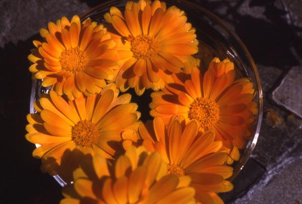 Calendula Blütenessenz
