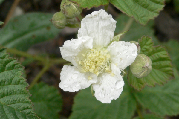 Brombeere Blütenessenz