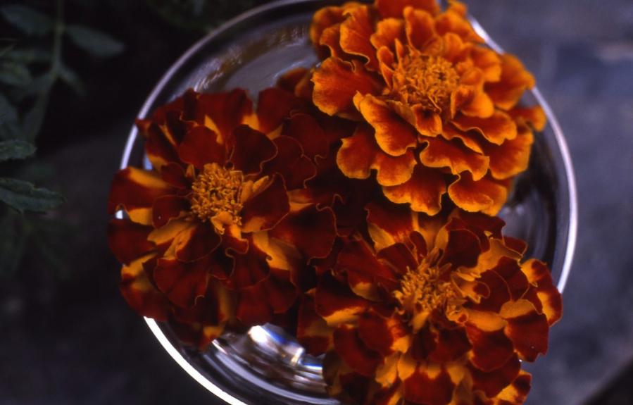 Tagetes Blütenessenz