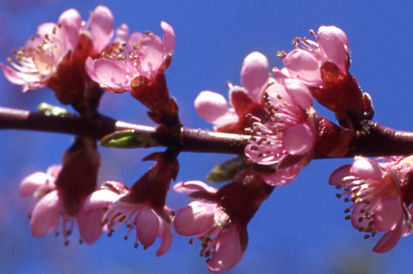 Pfirsich Blütenessenz