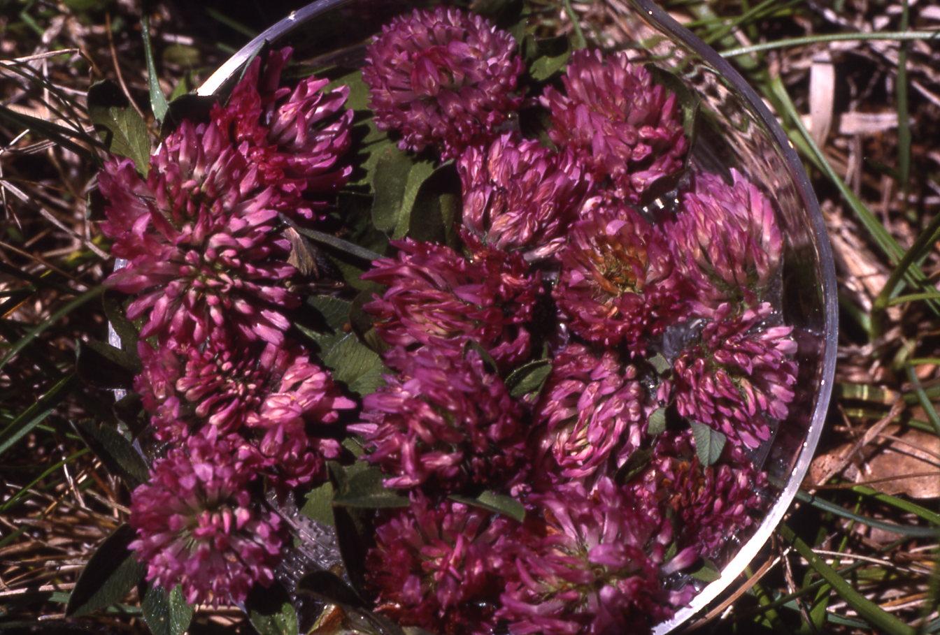 Rotklee Blütenessenz