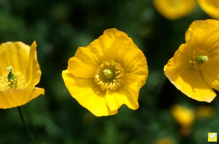 Kalifornischer Mohn Blütenessenz