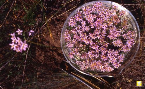 Bachblüte Nr. 4 Centaury