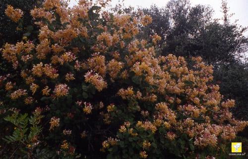 Bachblüte Nr. 16 Honeysuckle