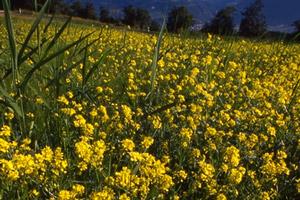 Bachblüte Nr. 21 Mustard