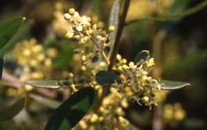 Bachblüte Nr. 23 Olive