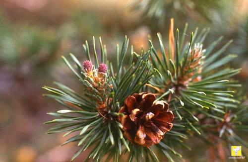 Bachblüte Nr. 24 Pine