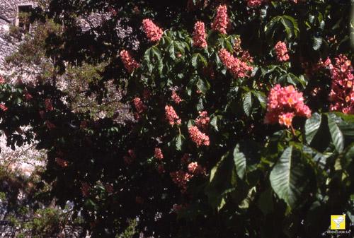 Bachblüte Nr. 25 Red Chestnut