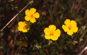 Bachblüte Nr. 26 Rock rose
