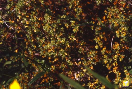 Bachblüte Nr. 28 Scleranthus