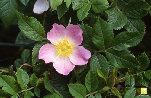 Bachblüte Nr. 37 Wild Rose